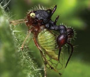 Membracídeos formiga