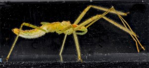 Hemiptera formiga