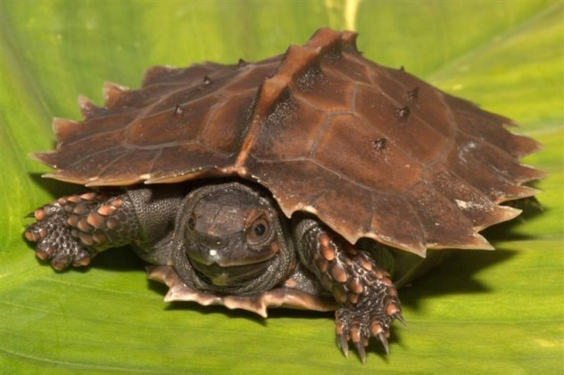 Tartaruga espinhosa