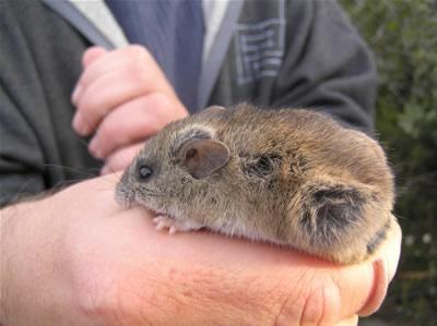 Rato de Nova Holanda