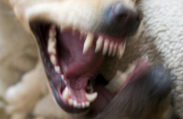 Panhu Cão Dente