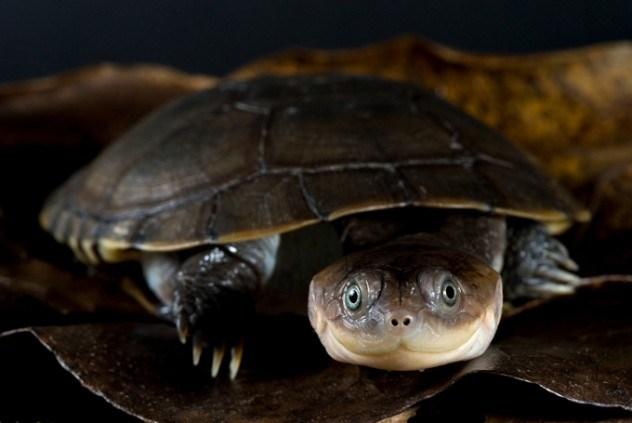 Tartaruga de capacete africana