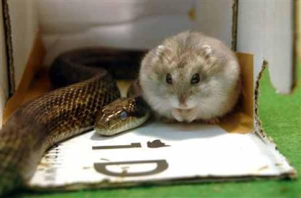 Serpente e hamster