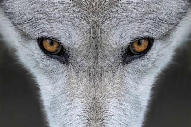 Inu-gami Lobo Cão