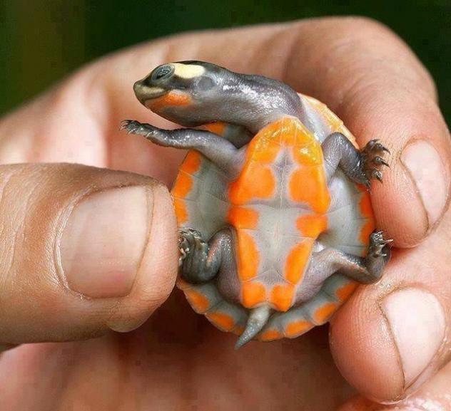 Tartaruga da barriga vermelha e pescoço curto
