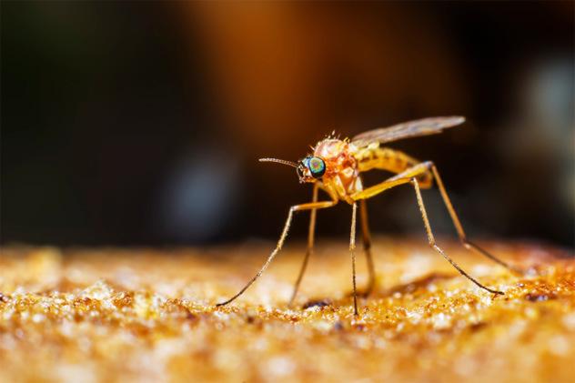 Alguns mosquitos mordem as pessoas pelas suas roupas