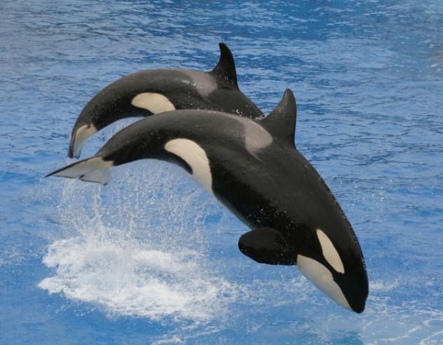 Orca do Atlântico Norte