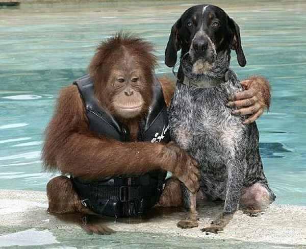 Orangotango e cão
