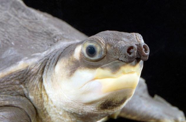 Tartaruga nariz-de-porco