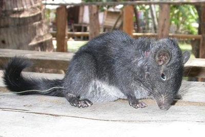 Rato rocha
