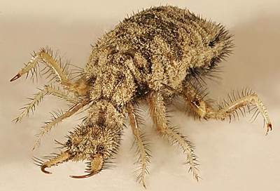 Antlion (formiga leão)