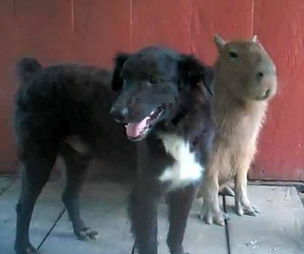 Cão e capivara