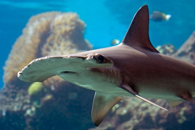 Tubarão-martelo da Carolina
