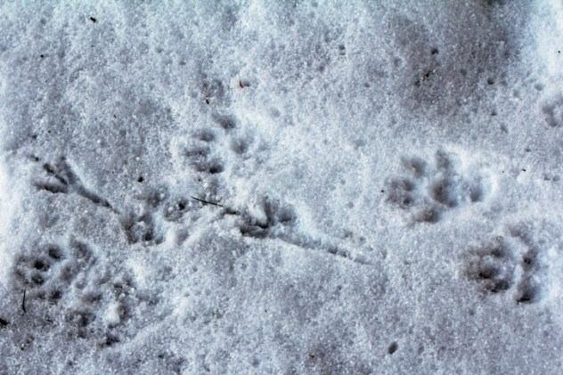 Pegada Lobo Neve
