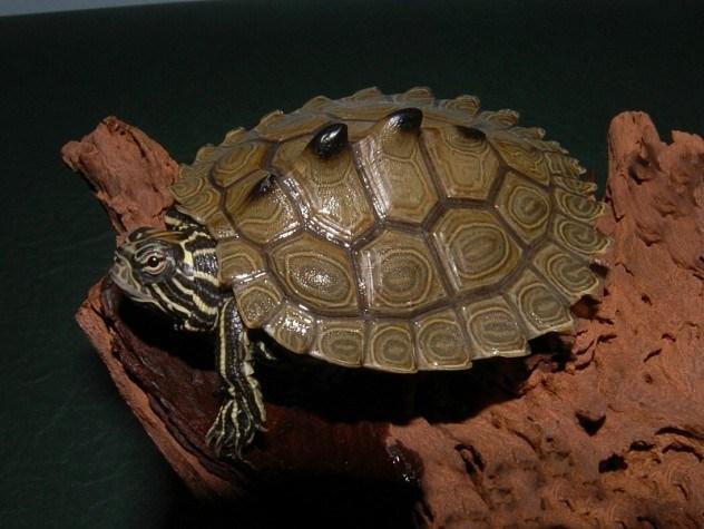 Tartaruga mapeada do calombo preto