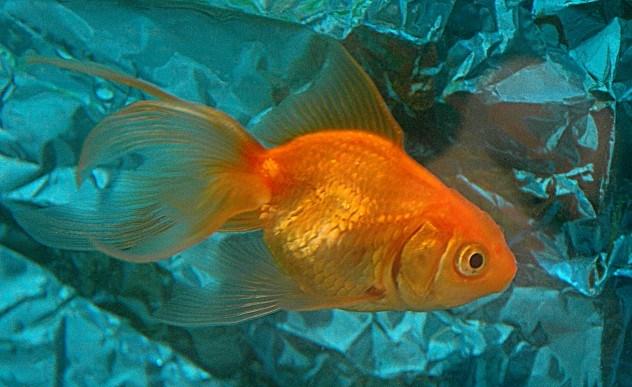 Há várias alternativas aos peixinhos dourados