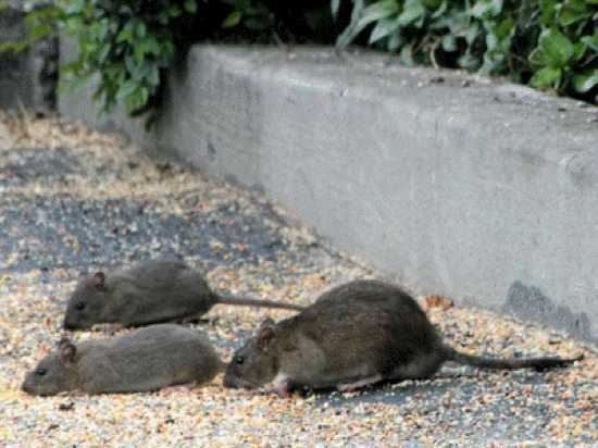 ratos resistentes