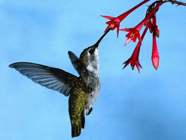 Beija-flores podem ser animais de estimação
