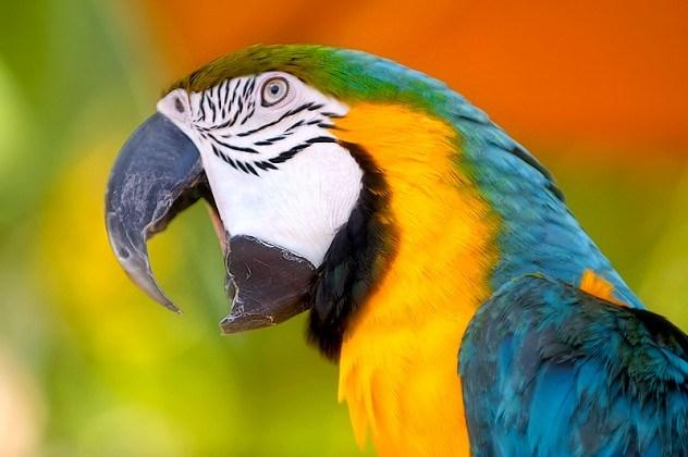 Araras e papagaios são portadores de doenças
