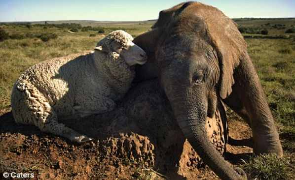 Elefante e ovelha