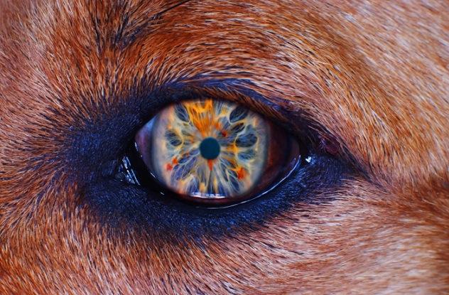 Failinis Cão Olho