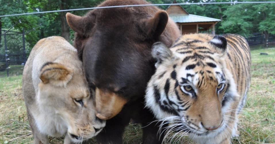 Tirgre urso leao