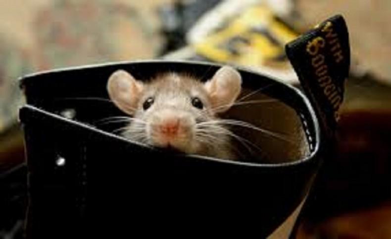 10 fatos fascinantes sobre ratos