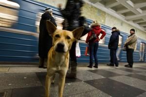 Estatísticas de Moscou cão cães
