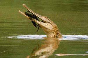 Crocodilo de água doce 2