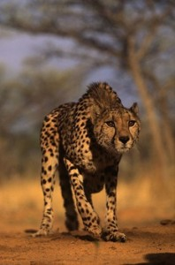 Chita (guepardo) felino