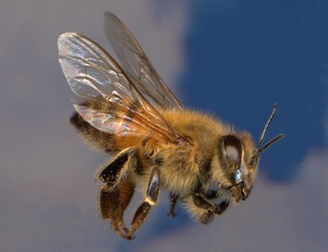Abelha inseto