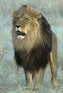 Leão felino