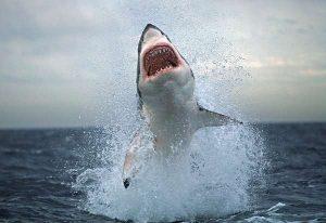 Tubarão Branco 4