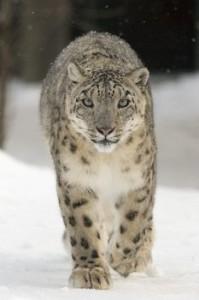 Leopardo da neve felino