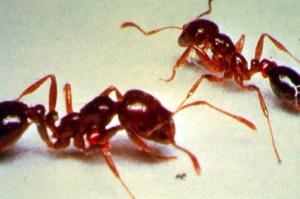 Formiga de fogo inseto