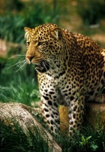 Onça-pintada felino