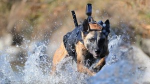 Dentes de titânio SEALs Pastor Belga Malinois cães cão