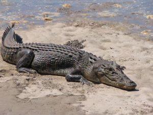 Crocodilo de água salgada 6