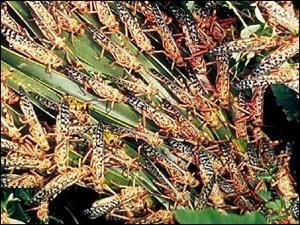Gafanhotos inseto
