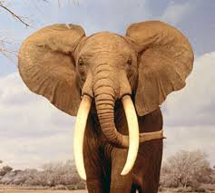 Elefante Africano 7