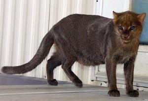 Jaguarundi felino