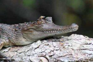 Crocodilo do focinho delgado 8
