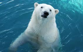 Urso Polar 8
