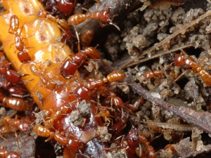 Siafu (formigas africanas) insetos
