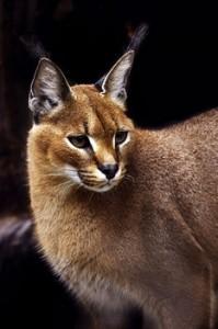 Caracal felino
