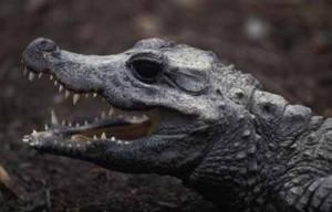 Crocodilo anão africano 9