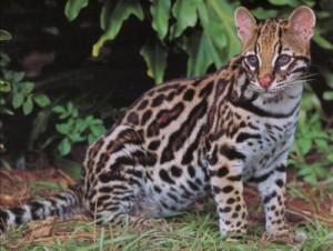 Jaguatirica felino