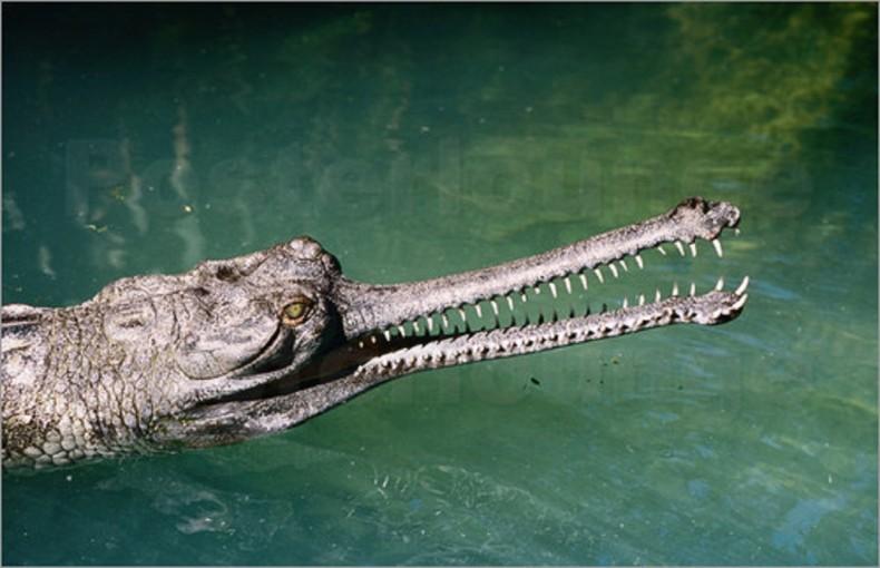 TOP 10 crocodilianos fascinantes e únicos