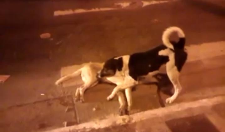 Inacreditável: cachorro tenta proteger amigo atropelado