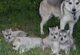 10 raças raras de cães